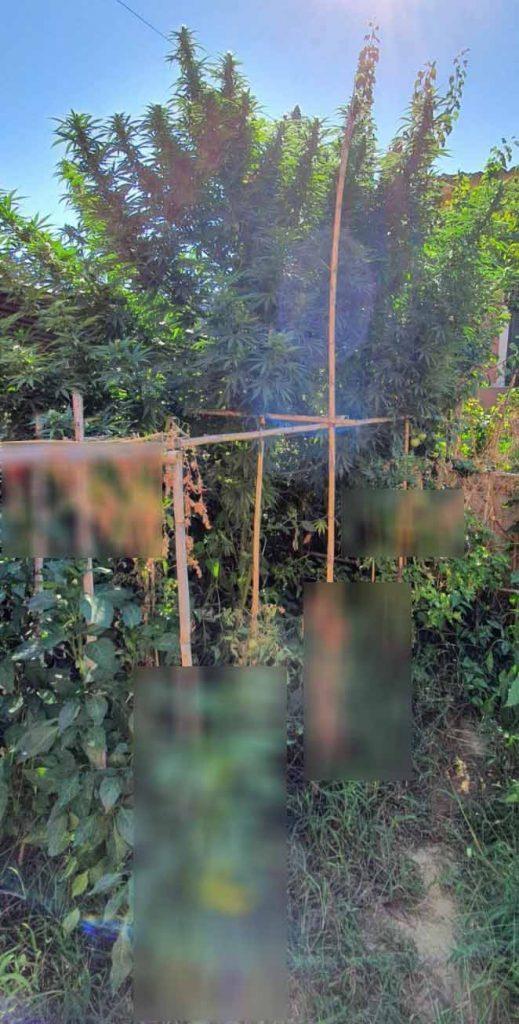 Συνελήφθη Κερκυραίος καθώς καλλιεργούσε 5 δενδρύλλια κάνναβης στην αυλή του σπιτιού του.
